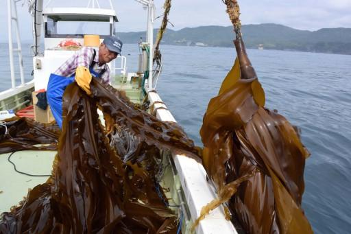 昆布が生育する海域の南限に近い十三浜では、半年足らずで4~5メートルにも成長します。